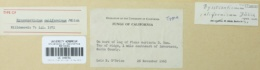 Byssocorticium californicum image