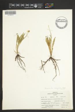 Image of Ranunculus oreogenes