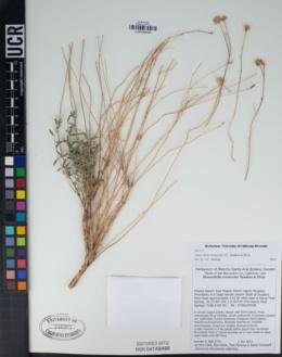 Image of Monardella eremicola
