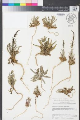 Image of Stephanomeria virgata