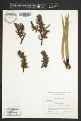 Image of Arceuthobium strictum