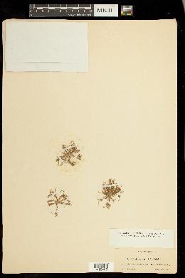 Coleanthus subtilis image