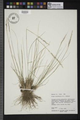 Image of Stipa nevadensis