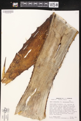 Agave inaequidens image