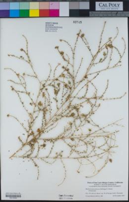 Image of Blepharizonia plumosa