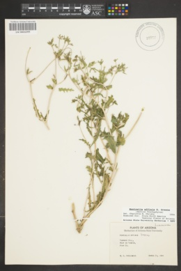 Mentzelia affinis image