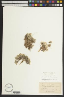 Phlox hoodii subsp. glabrata image