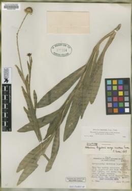 Helenium bigelovii image