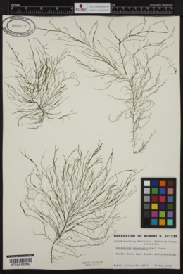 Haplogloia andersonii image