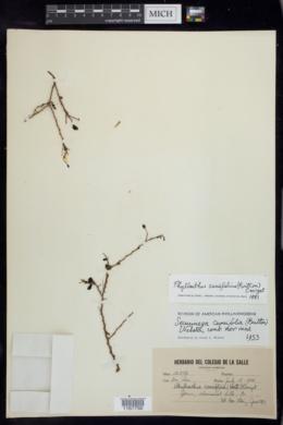Image of Phyllanthus cuneifolius