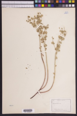 Image of Euphorbia schizoloba