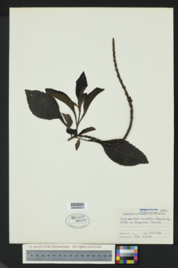Image of Stachytarpheta mutabilis