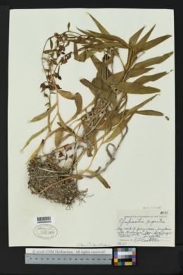 Epipactis gigantea image