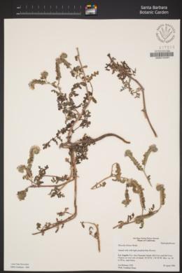 Phacelia distans image