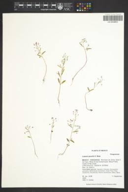 Image of Lopezia gracilis