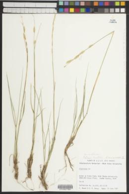 Image of Elytrigia kasteki