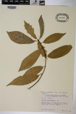 Quercus ocoteifolia image