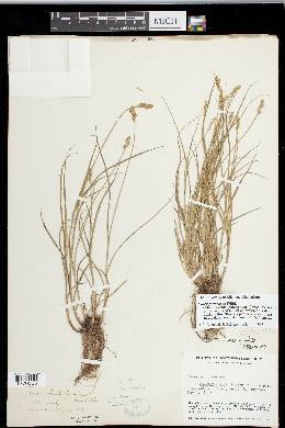 Carex festucacea image