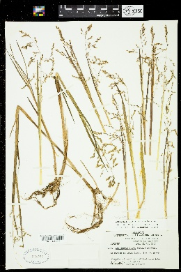 Image of Colpodium fulvum