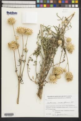 Image of Centaurea carduiformis