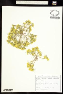 Pectis angustifolia image