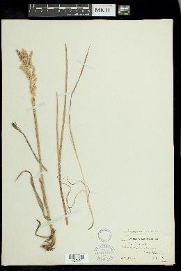 Arctopoa eminens image