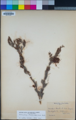 Image of Grevillea thelemanniana