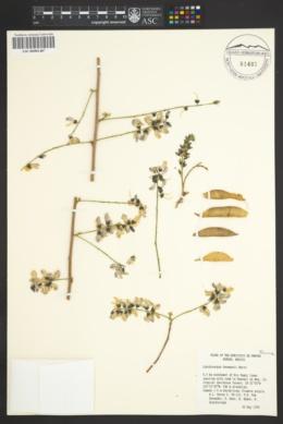 Image of Lonchocarpus hermannii