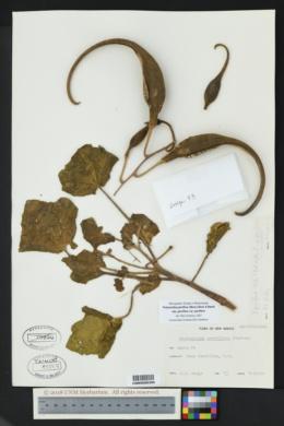 Proboscidea parviflora subsp. parviflora image