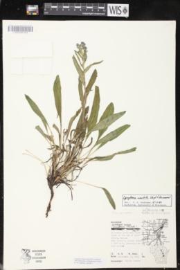Cynoglossum amabile image