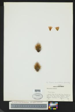 Image of Escobaria emskoetteriana