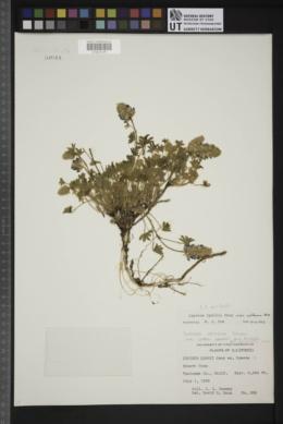 Lupinus lyallii image