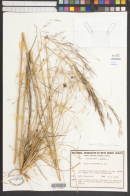 Image of Austrostipa pubescens
