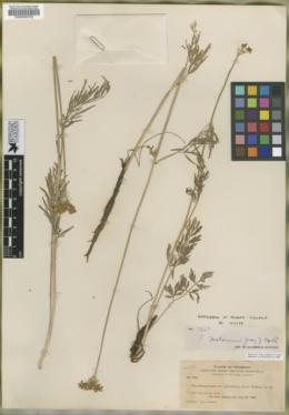 Pseudocymopterus sylvaticus image