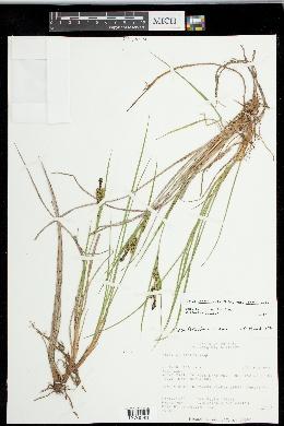 Carex lenticularis var. lenticularis image