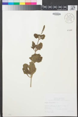 Image of Verbena lasiostachys