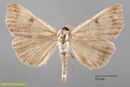 Image of Lygephila victoria