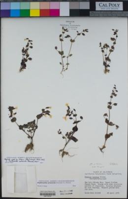 Erythranthe arenicola image