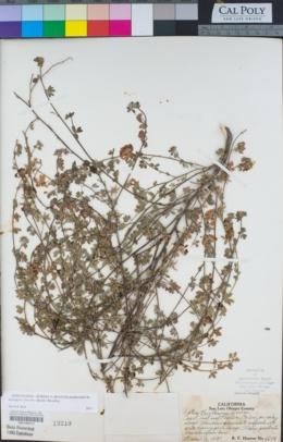 Acmispon cytisoides image