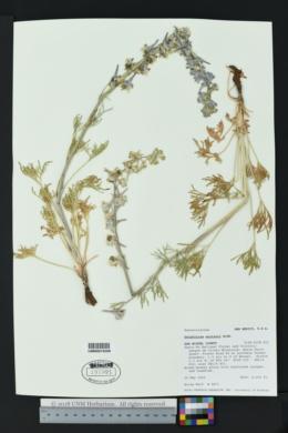 Delphinium wootonii image