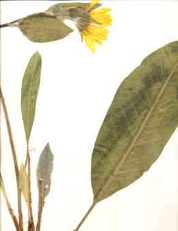 Wyethia mollis image
