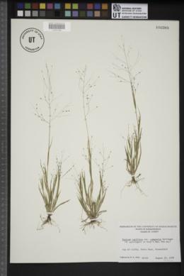 Panicum capillare var. campestre image