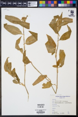 Image of Commelina nudiflora