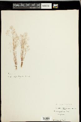 Aira elegans image