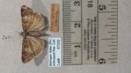 Image of Gesneria centuriella