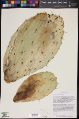 Opuntia fuliginosa image