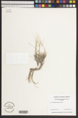 Scleropogon brevifolius image