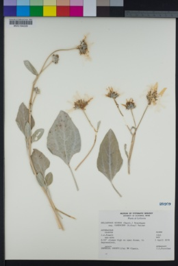 Helianthus petiolaris var. canescens image