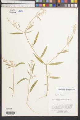Croton texensis var. utahensis image