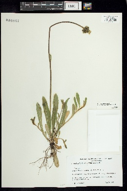 Image of Pilosella floribunda